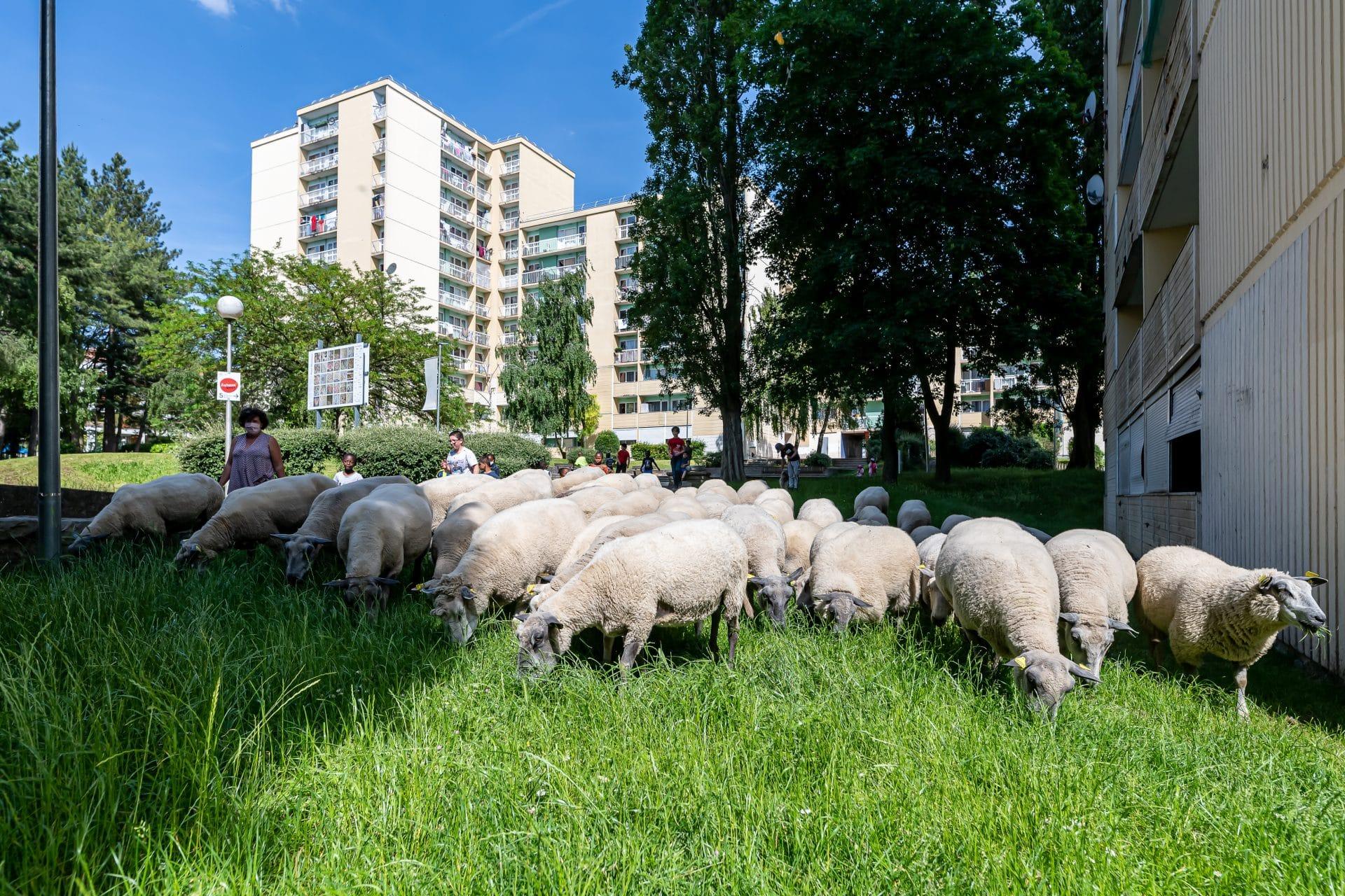 À Villiers-le-Bel (95), des moutons dans le quartier